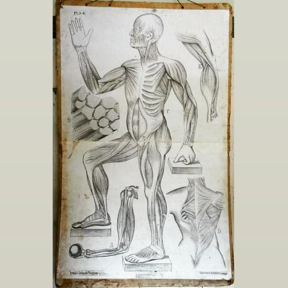 Grote vintage Schoolplaat Anatomie - sold